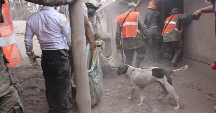 Perro ayuda a Socorristas en Guatemala a encontrar los cadáveres de sus amos, tras erupción del Volcán de Fuego