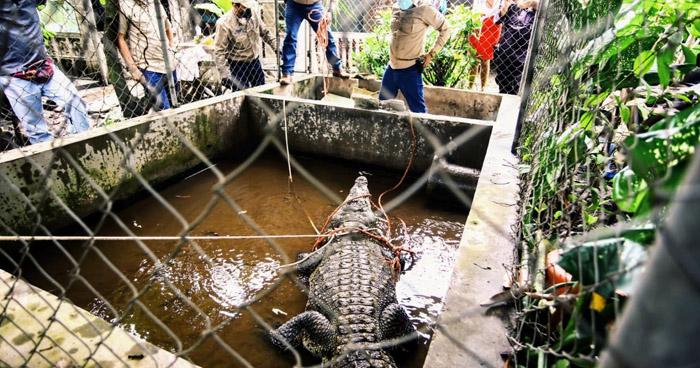 Rescatan a cocodrilo que estaba en cautiverio desde hace 25 años en casa de Aguilares