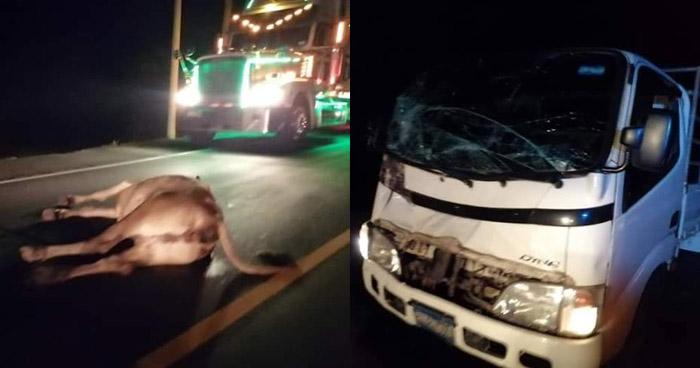 Camión impacta con un semoviente sobre carretera en Jujutla