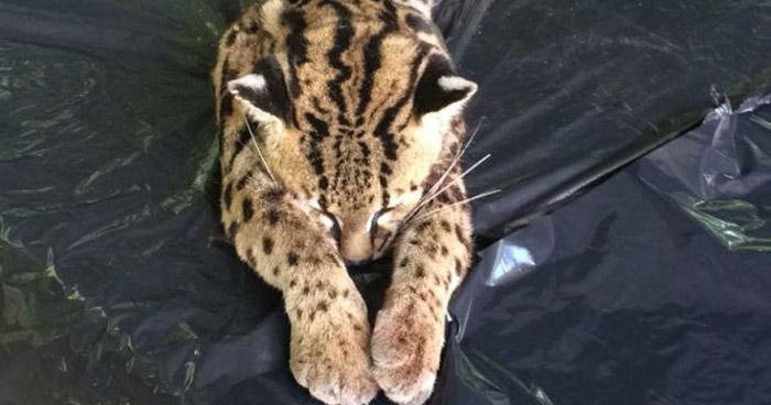 Felino en peligro de extinción muere atropellado en Metapán