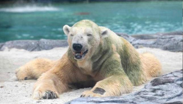 """Muere en Singapur """"Inuka"""", el primer oso polar nacido en un país tropical"""