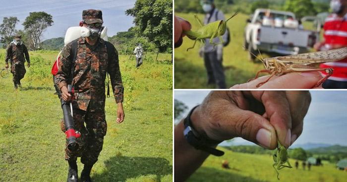 Brote de langostas: Realizan jornada de fumigación en cultivos de San Miguel