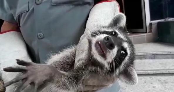 Capturan otro mapache en la Asamblea Legislativa