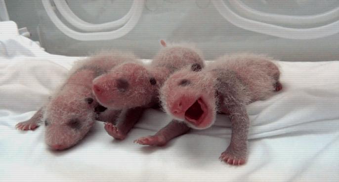 China celebra el nacimiento de tres bebés pandas en un centro de cría