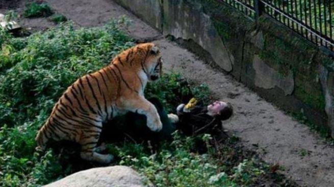 Tigre ataca a su cuidadora mientras le daba de comer en un zoológico de Rusia