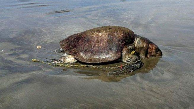 Aparece muerta una tortuga a las orillas de la playa Las Tunas, La Unión