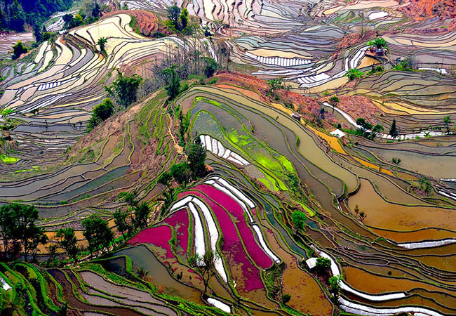 Stunning, multicoloured view of staggered rice fields in China