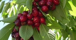 prevención de la salud-cereza