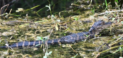 Baby Gator at Shark Valley in Everglades National Park, Florida