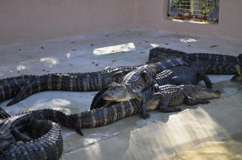 Alligators at Wooten's Everglades Airboat Tours