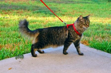 Come abituare il gatto al guinzaglio