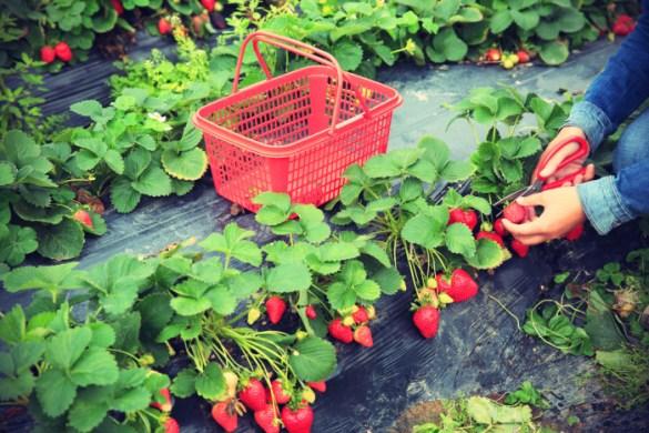 coltivare-fragole-balcone