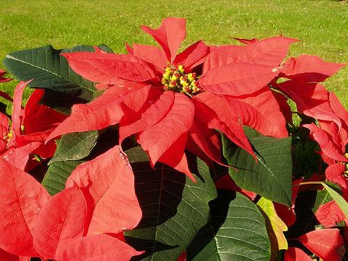 La Stella Di Natale Va Potata.Stella Di Natale Velenosa Soluzioni Di Casa