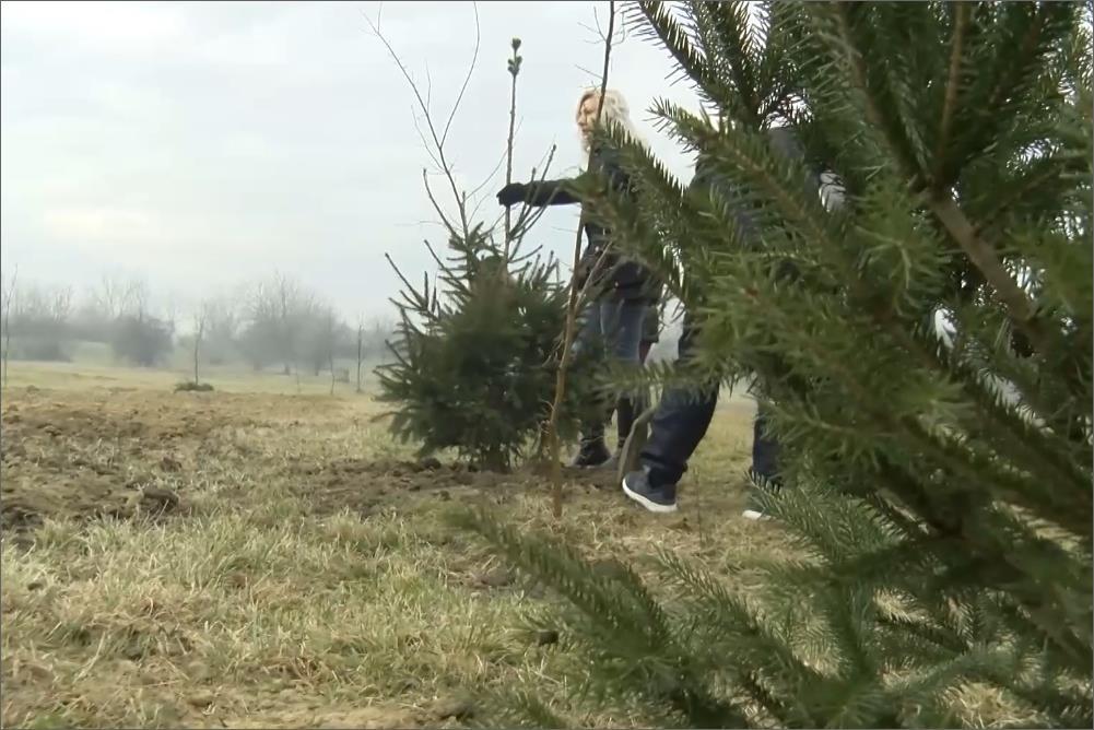 Zainteresovani građani mogu da zasade novogodišnje jelke u parku svakog radnog dana od 7 do 15 časova