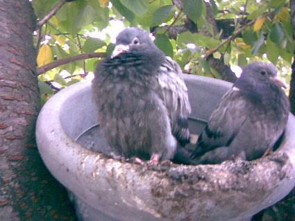 fleurs-de-pigeon-2.jpg