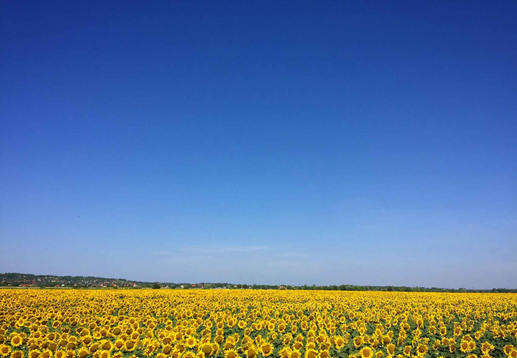 sunflower garden under blue sky