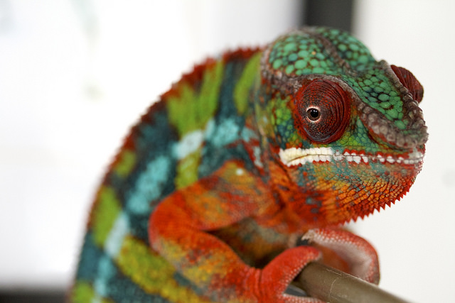 Panther chameleons are known for their vibrant colors. Photo credit: Florence Ivy on Flickr.