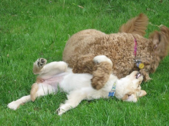 Honey the golden retriever puppy would be okay to sleep outside with her favorite dog playmate.