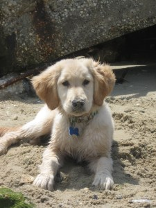 Golden Retriever puppy on the beach at Cape May New Jersey
