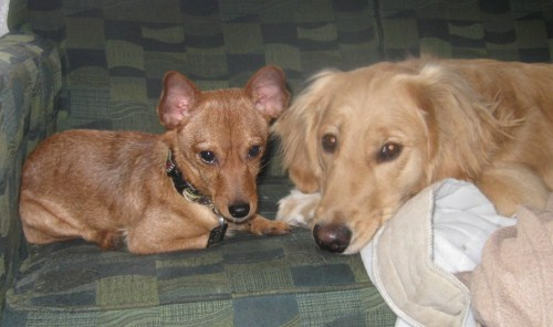 Puppy and Golden Retriever on the couch