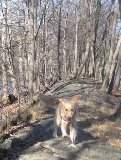 Golden Retriever running in the woods practicing her off leash recall.