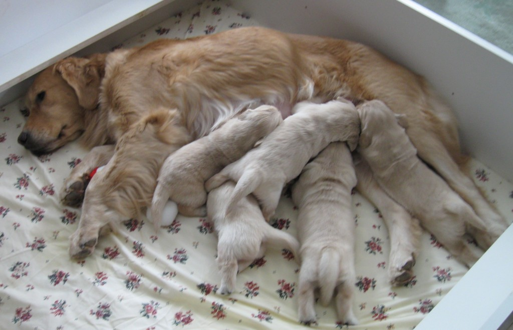Golden Retriever and nursing puppies