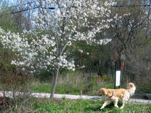 Honey the Golden Retriever sniffs at Conley Park in Ithaca.