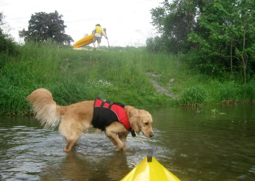 Honey the Golden Retriever splashes in the creek after kayaking.