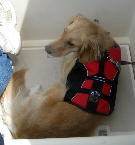 Honey the Golden Retriever goes sailing.