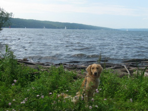 Honey the Golden Retriever poses beside Cayuga Lake.