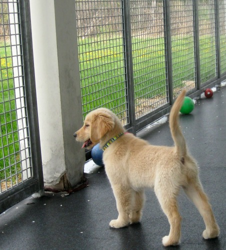 Honey the golden retriever puppy wonders if there are sharks outside the cage.
