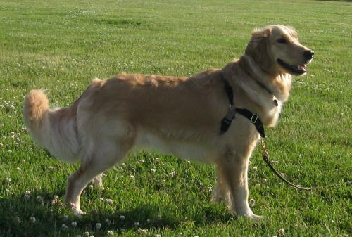 Honey the golden retriever is a beautiful dog.