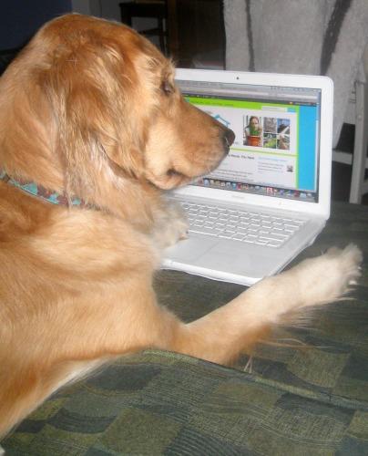 Honey the golden retriever dog looks at a blog.