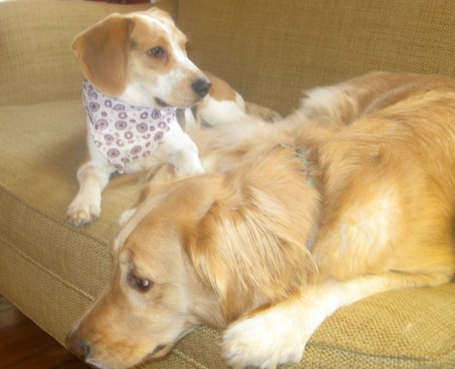 Honey the golden retriever and Ginny the foster dog wait for her forever home.