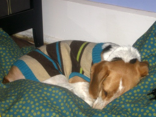 Ginny the foster dog is sleeping.