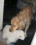 Honey the golden retriever plays with her stuffed lamb.