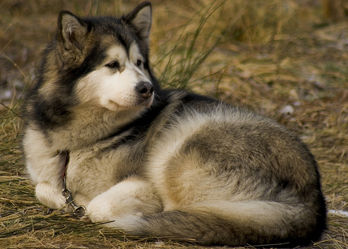 An Alaskan malamute sleeps outdoors.