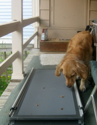 Honey the golden retriever avoids stepping on a dog ramp.