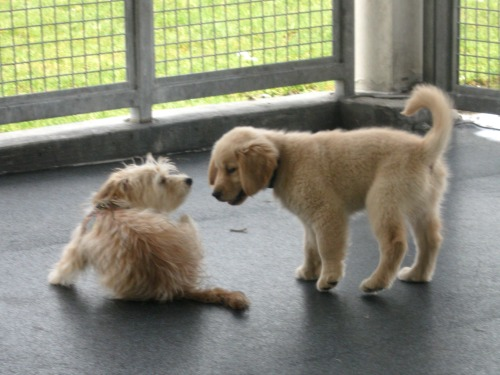Honey the golden retriever puppy plays with a friend.