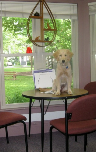 Honey the golden retriever sits on the table.