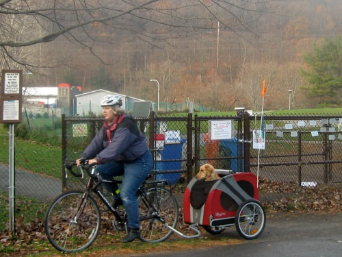Honey the golden retriever comes to the dog park in her bike cart.