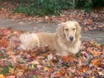 Honey the golden retriever sits in the leaves.