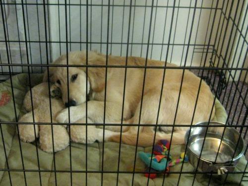 Honey the golden retriever puppy rests in her crate.
