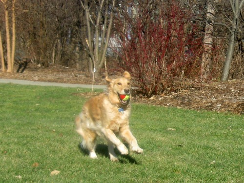 Honey the golden retriever fetches a ball.