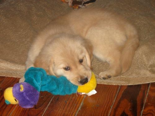Honey the golden retriever puppy chews on a toy.