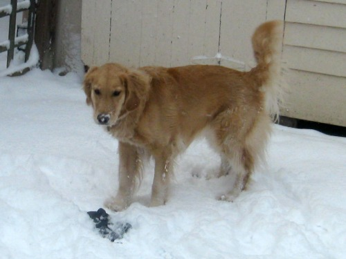 Honey the golden retriever with a mitten in the snow.