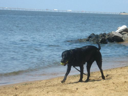 Black lab at the Chesapeake bay with two tennis balls in his mouth.