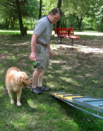 Honey the golden retriever with agility equipment.