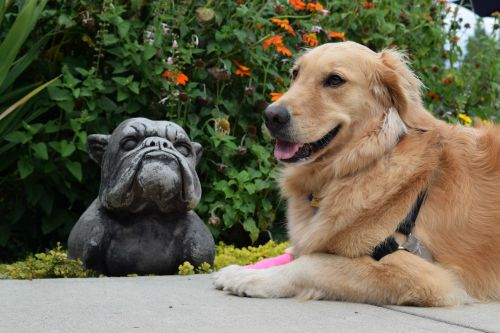 Honey the golden retriever is done posing with stone bull dog.