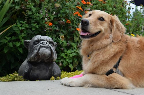 Honey the golden retriever poses with a stone bull dog.
